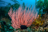 gorgonian and giant kelp, Macrocystis pyrifera, cling to the rocky bottom of a reef off the Santa Barbara Island, Channel Islands National Park, California, USA, Pacific Ocean
