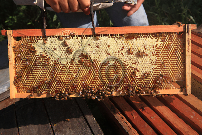 A honey bee frame.