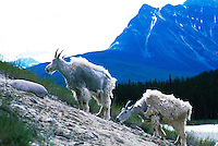 Mountain Goats (Oreamnos americanus), aka Rocky Mountain Goats, grazing at Mineral Lick, along Icefields Parkway, Jasper National Park, AB, Alberta, Canada