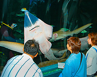 visitors, watching as sharpnose guitarfish, Glaucostegus granulatus, being fed by an scuba diver in aquarium,  found in the tropical Indo-Pacific Ocean (c)