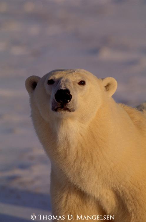 Portrait of polar bear at Hudson Bay in Manitoba, Canada.