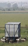 Foto: VidiPhoto<br /> <br /> ECHTELD - Misschien zijn ze er ooit wel mee gebracht; nu dient de veekar vooral als schuilplek tegen zon en -op dit moment- regen. Maar vol is vol. Niet ieder schaap weet een droge plek te bemachtigen. Het is dus dringen geblazen tijdens de fikse buien van woensdag in een weiland bij Echteld. Voorlopig houden de buien nog wel even aan, met als hoogtepunt een kletsnatte dag met forse neerslag op zaterdag. Schapenvacht wordt er wel goed schoon van.