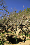 Israel, Jerusalem mountains, Mulberry tree in Ein Nekofa