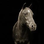 Photograph by Isa Leshko, Pumpkin, Morgan Arabian Horse, Age 28