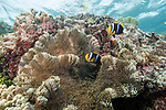 Munda, Western Province, Solomon Islands; a pair of orange-finned anemonefish swimming amongst their large carpet anemone growing near the water's surface on the reef