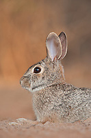 673280051 a wild desert cottontail rabbit sylvilagus audubonii on santa clara ranch hidalgo county rio grande valley texas united states