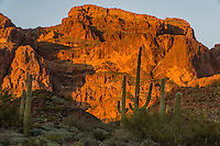"""Saguaro cactus and Ajo Mountains, Organ Pipe Cactus National Monument, Ariz.  Late evening light, March.  This is a scene along the backroad on the """"Ajo Mountain Drive."""""""