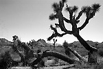 """Yucca brevifolia Joshua Tree San Bernardino California, Joshua Tree National Park, West Coast of US, Golden State, 31st State, California, CA, Fine art Photography and Stock Photography by Ronald T. Bennett Photography ©, FINE ART and STOCK PHOTOGRAPHY FOR SALE, CLICK ON  """"ADD TO CART"""" FOR PRICING, Fine Art Photography by Ron Bennett, Fine Art, Fine Art photography, Art Photography, Copyright RonBennettPhotography.com ©"""