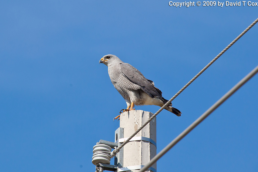 Grey Hawk, Sinaloa, Mexico