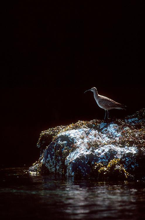 Alaska, Whimbrel, Numenius phaeopus, a shore bird with a distinctive downturned beak, summer, Prince William Sound, .