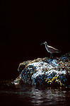 Alaska, Whimbrel, Numenius phaeopus, a shore bird with a distinctive downturned beak, summer, Prince William Sound, .