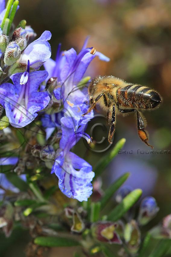 A bee gathering nectar from a rosemary bush flower.///Butinage d'une abeille sur une fleur de Romarin.