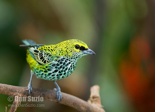 Speckled tanager, Tangara guttata, Talamanca Mountains, Costa Rica