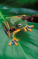 Blue-webbed gliding frog/Reinwardt's Flying Frog..Indochina, Sumatra, Java..Rhacophorus reinwardtii.