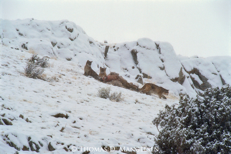 Mountain lion family and elk kill on Miller Butte.