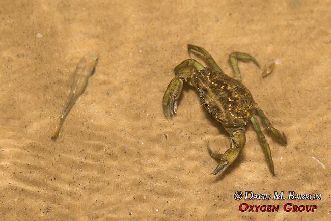 Green Crab & Minnow