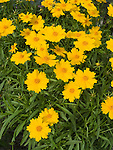 Flying Saucers Coreopsis