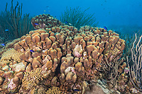 Lobed star coral, Montastraea annularis, Bonaire, Netherland Antilles, Netherlands, Caribbean Sea, Atlantic Ocean