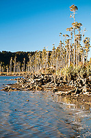 Kahikatea Trees on shores of Lake Wahapo - Westland National Park, West Coast, New Zealand