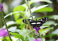 Stock photo: Beautiful black and white longwing butterfly perched on a delicate stem of a flower plant in callaway gardens butterfly center in Georgia America.