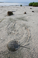 Horseshoe Crab; Limulus polyphemus; spawning on beach;  NJ, Delaware Bay