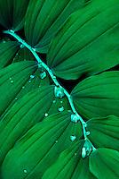 Salomonszegel (Polygonatum multiflorum), repeterend blad. .