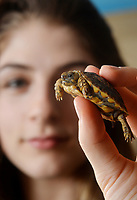 BNPS.co.uk (01202 558833)<br /> Pic: ZacharyCulpin/BNPS<br /> <br /> Longleat animal keeper, Chloe Finch with the tiny tortoise. <br /> <br /> An adorable tiny tortoise which is only slighter larger than a £1 coin has been born at a British safari park.<br /> <br /> The yet to be named baby tortoise, which weighs just 17 grams, is from the critically endangered Pancake tortoise species.<br /> <br /> It was born as part of a breeding programme at Longleat Safari Park in Wilts to save their depleted numbers.