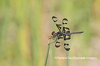 06580-00212 Banded Pennant (Celithemis fasciata) male Washinton Co. MO