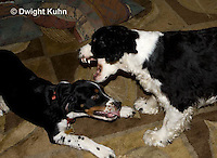 SH25-610z English Springer Spaniel, young dogs playing and wrestling