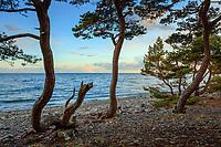 Vindpinade tallar vid en havsstrand på Torö i Stockholms skärgård