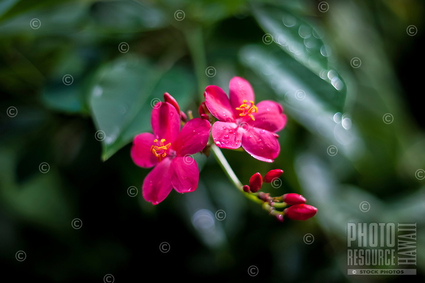 Pink tropical flower with rain drops on petals, Tauono's Garden, Aitutaki Island, Cook Islands.