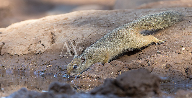 This Smith's bush squirrel came for a drink at the Mashatu hide.