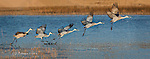 The Takeoff: Sandhill Crane, New Mexico.  A sequence of five images of a single bird getting itself airborne at the Bosque Del Apache wildlife refuge in New Mexico.  The images were assembled with panorama software.