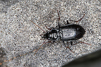 Feld-Dammläufer, Felddammläufer, Dammläufer, Laufkäfer, Nebria salina, Gazelle Beetle, ground-beetle, ground beetle