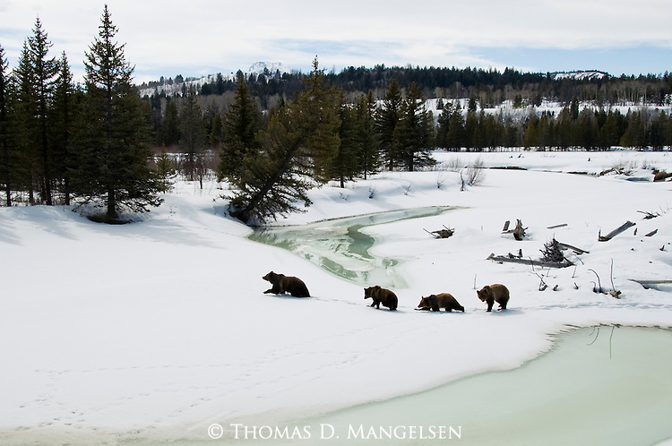 Grizzly Bear 399 and cubs crossing the Buffalo Fork in Grand Teton National Park, Wyoming.