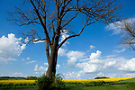 Europa, DEU, Deutschland, Hessen, Vogelsbergkreis, Schwalmtal, Agrarlandschaft, Raps, Rapsbluete, Himmel, Cumuluswolken, Baum, Kategorien und Themen, Natur, Umwelt, Landschaft, Jahreszeiten, Stimmungen, Landschaftsfotografie, Landschaften, Landschaftsphoto, Landschaftsphotographie, Wetter, Himmel, Wolken, Wolkenkunde, Wetterbeobachtung, Wetterelemente, Wetterlage, Wetterkunde, Witterung, Witterungsbedingungen, Wettererscheinungen, Meteorologie, Bauernregeln, Wettervorhersage, Wolkenfotografie, Wetterphaenomene, Wolkenklassifikation, Wolkenbilder, Wolkenfoto<br /> <br /> [Fuer die Nutzung gelten die jeweils gueltigen Allgemeinen Liefer-und Geschaeftsbedingungen. Nutzung nur gegen Verwendungsmeldung und Nachweis. Download der AGB unter http://www.image-box.com oder werden auf Anfrage zugesendet. Freigabe ist vorher erforderlich. Jede Nutzung des Fotos ist honorarpflichtig gemaess derzeit gueltiger MFM Liste - Kontakt, Uwe Schmid-Fotografie, Duisburg, Tel. (+49).2065.677997, ..archiv@image-box.com, www.image-box.com]