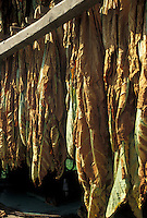 AJ3017, tobacco leaves, amish country, Lancaster County, Pennsylvania, Pennsylvania Dutch Country, Tobacco leaves hang to dry in an Amish barn in Lancaster in the state of Pennsylvania.