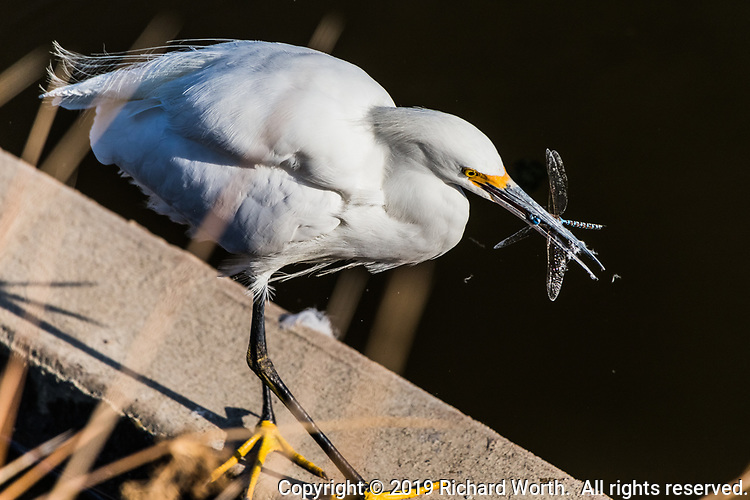 A snowy egret with a dragonfly it snatched out of the air as it flew by.