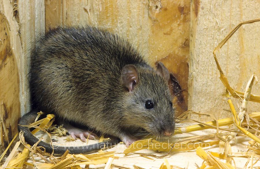 Wanderratte, Wander-Ratte, Ratte, Rattus norvegicus, commoner brown rat, Norway rat, common rat