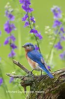 01377-17906 Eastern Bluebird (Sialia sialis) male in flower garden, Marion Co., IL
