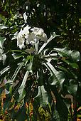 Belem, Brazil. White flower.