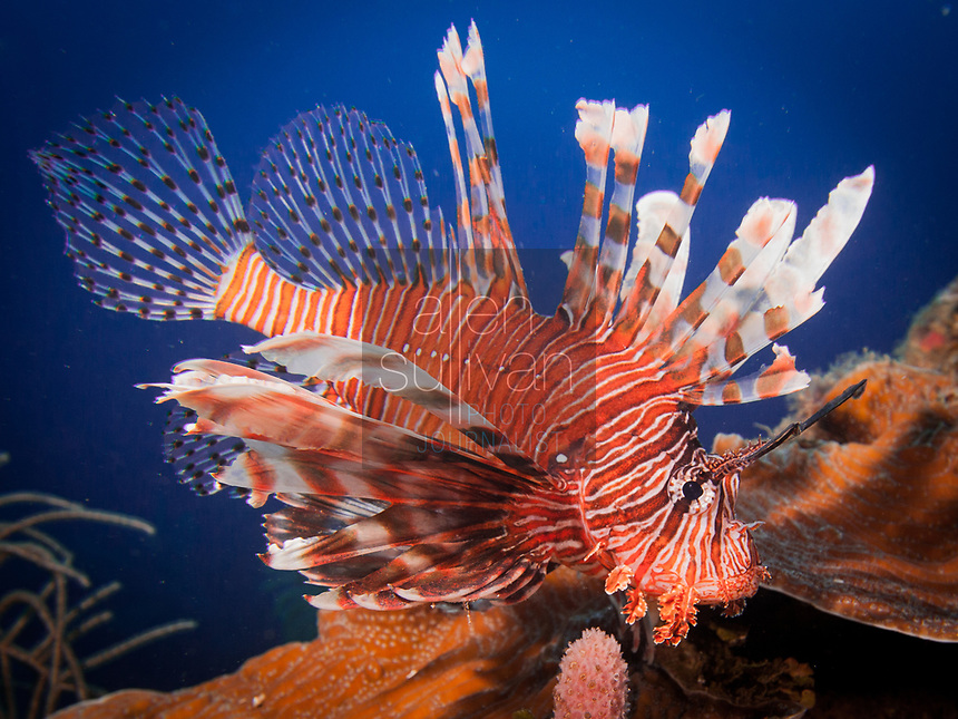 Lionfish on coral reef in Roatan, Honduras on Feb. 12, 2015. Lionfish are an invasive species in the Caribbean and have caused widespread damage to native species.