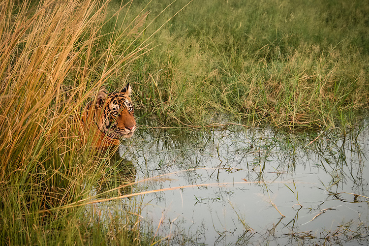 This Bengal Tiger, found crouching in the lakeside reeds, is stalking three Sambar deer in Ranthambhore national park, Rajasthan.