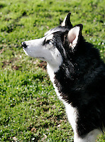 A young female Siberian Husky frolics in the wintery backyard of her Central Californian home posing for the camera.