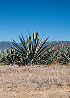 Fields of maguey agave plants to make mezcal near Teotitlan del Valle and Oaxaca, Mexico, February 2015.<br /> <br /> Photo by Matt Nager