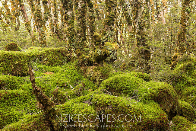 Moss cloaked up beech trees and forest floor on Routeburn Track, Fiordland National Park, Southland, South Island, World Heritage Area, New Zealand