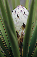 Trecul Yucca, Spanish Dagger, Yucca treculeana, blossom, Starr County, Rio Grande Valley, Texas, USA, February 2002