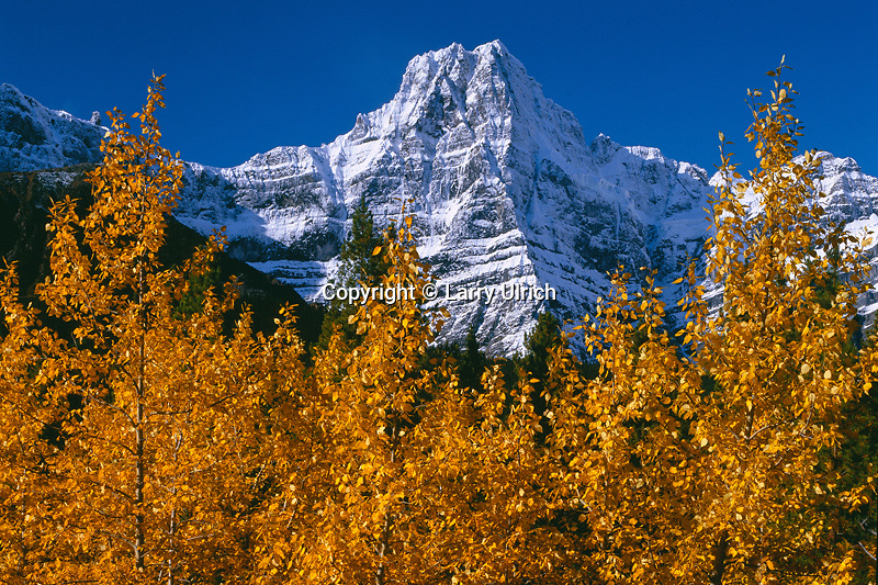 Black cottonwoods,  Waterfowl Lakes<br />