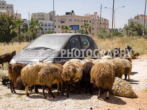 Car surrounded by sheep in Amman, Jordan