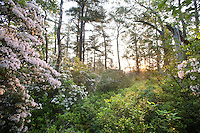 Mountain Laurel wildflowers, Pine Barrens, New Jersey